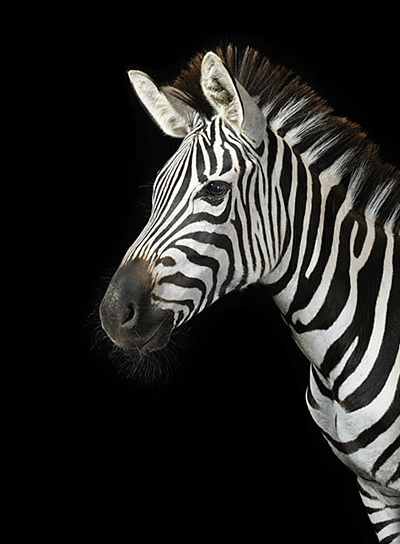 Zebra Background Tumbl...