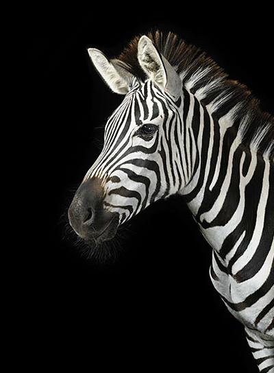 Zebra Background Tumbl...