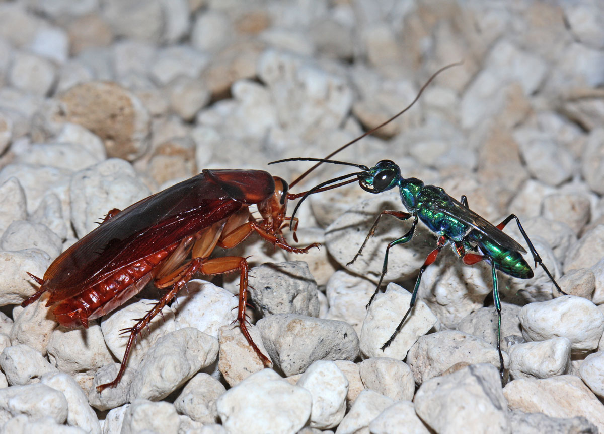 Tumblr - Parasitic wasp and cockroach