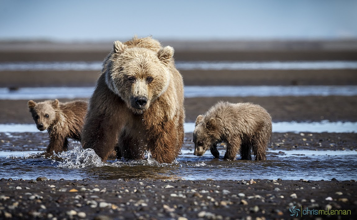 Tumblr - Bear mother and two cubs in shallow water