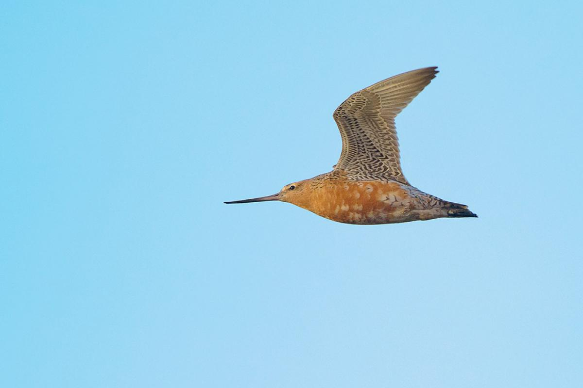 Tumblr - Bar-tailed Godwit male