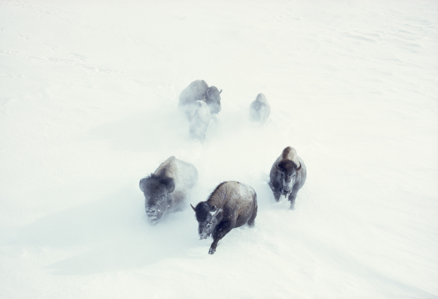 Tumblr - Bisons in the snow