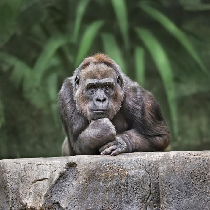 Tumblr - Thinking-gorilla