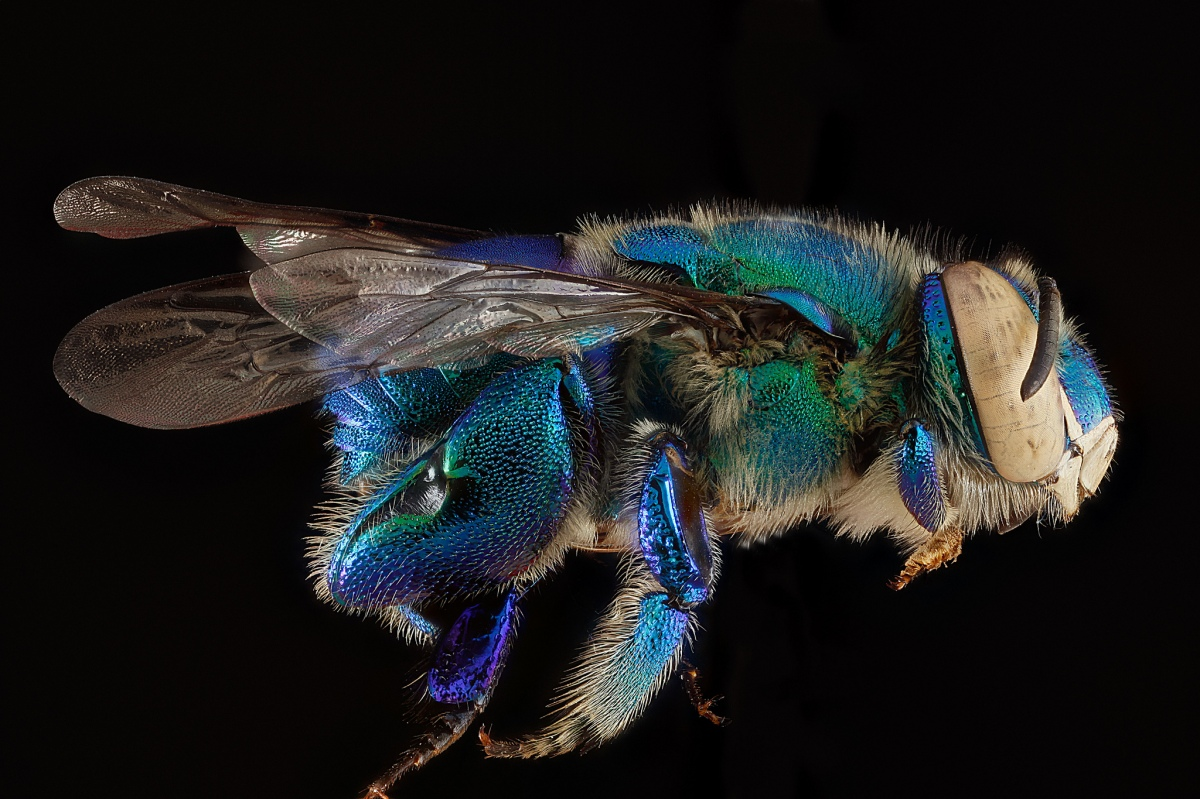 Tumblr - Bee by Sam Droege 1