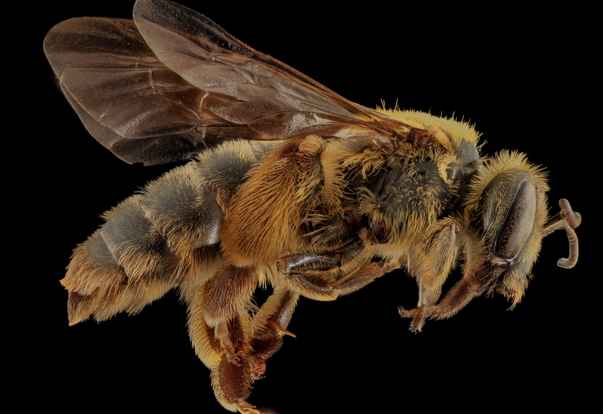 Tumblr - Bee by Sam Droege 2