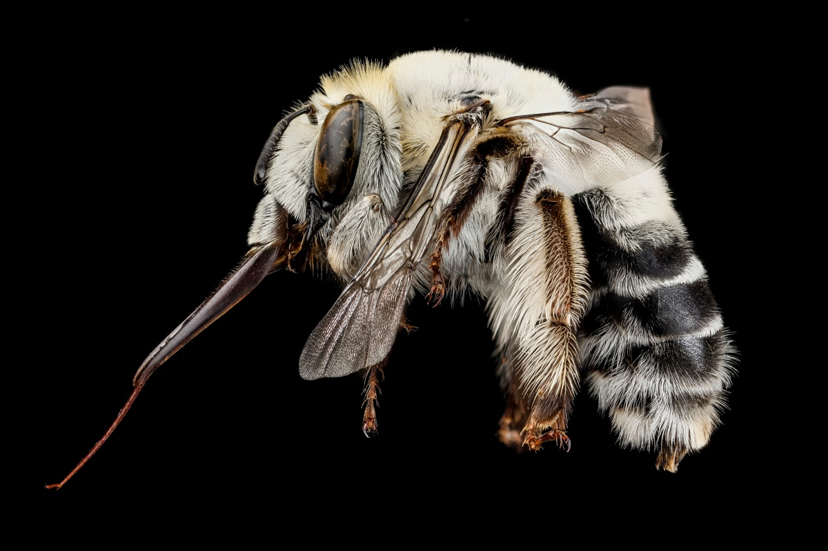 Tumblr - Bee by Sam Droege 3