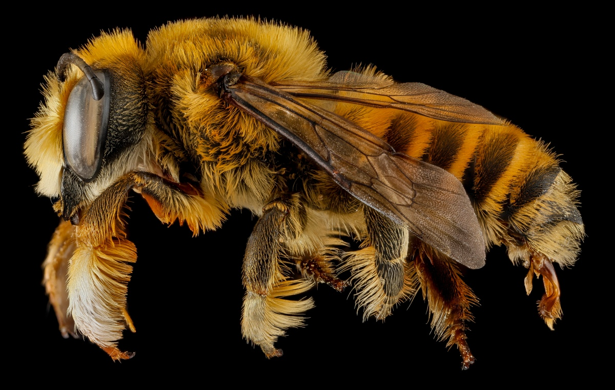 Tumblr - Bee by Sam Droege 4
