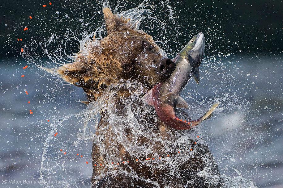 Tumblr - Bear & SalmonValter-Bernardeschi-Sockeye-catch