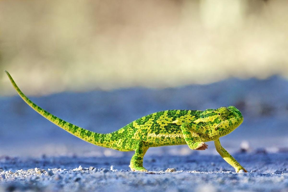 Tumblr - Chameleon on gravel