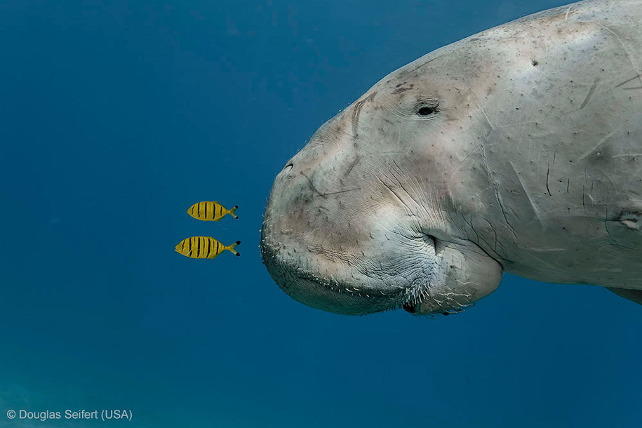 Dugong and juvenile golden trevally