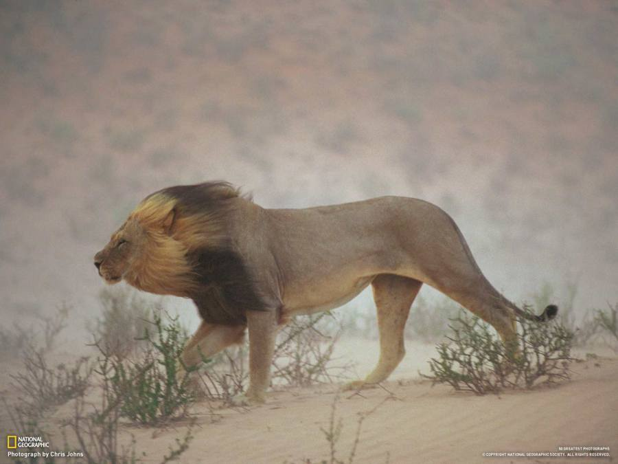 Tumblr - Lion in dust storm, Kalahari
