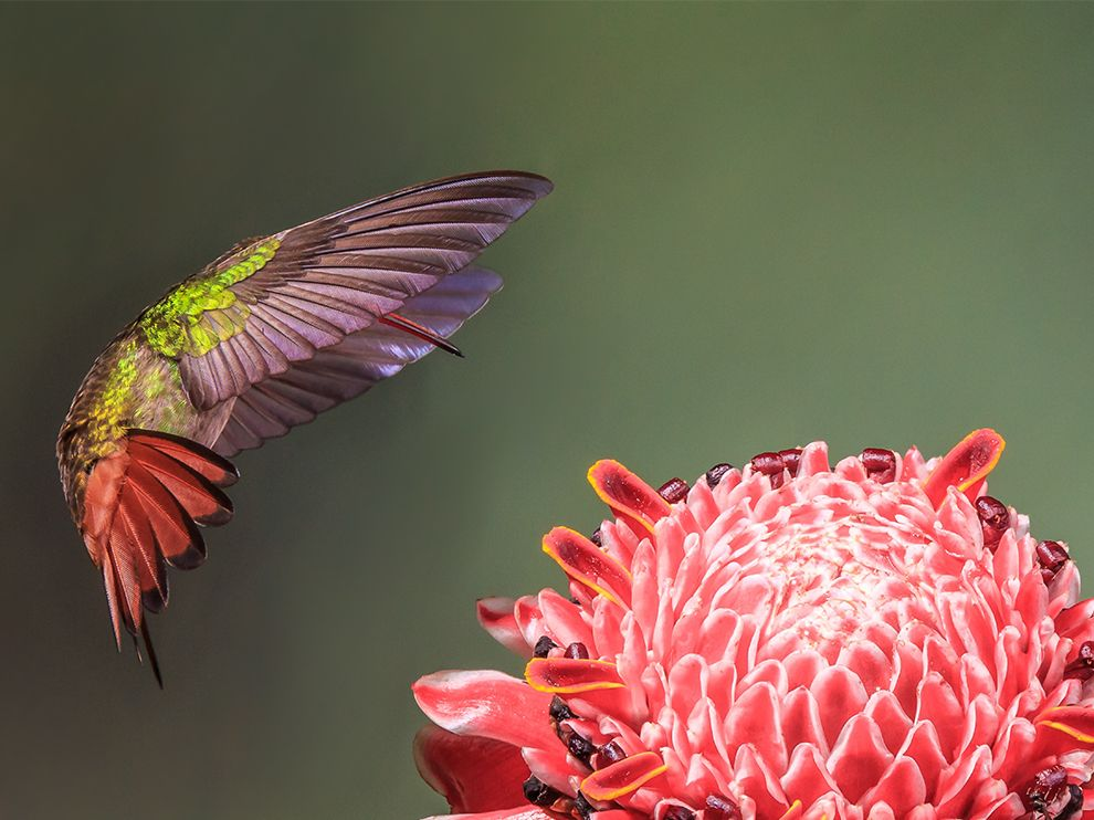 Tumblr - Coppery-headed-emerald-hummingbird_83584_990x742