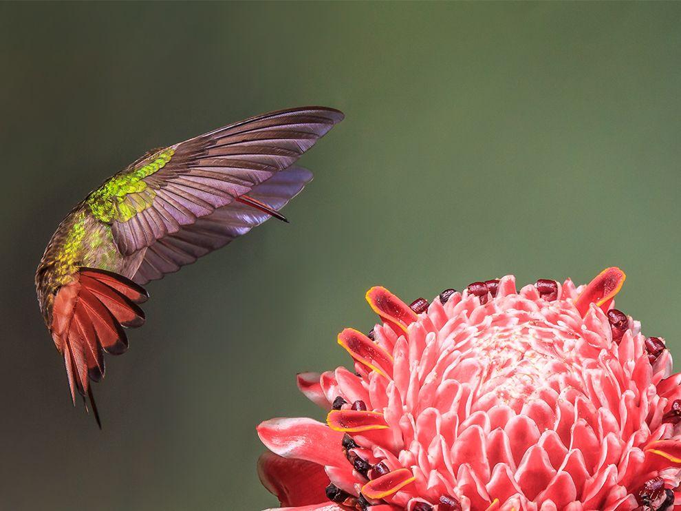 Tumblr - Coppery-headed-emerald-hummingbird_83584_990x742